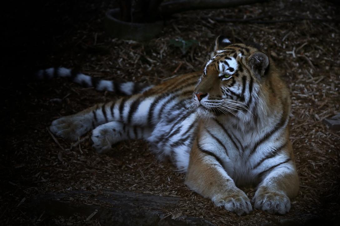 tiger i skugga
