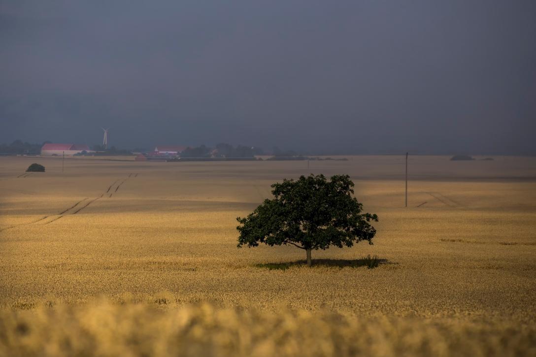 Det ensamma trädet innan skörd